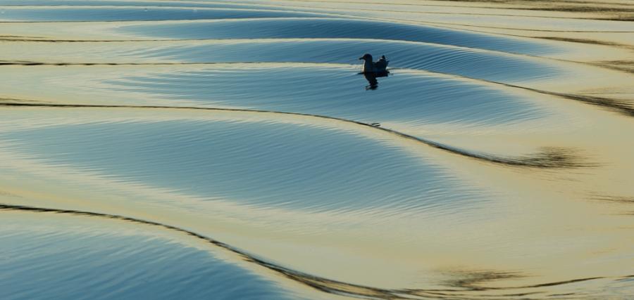 Måke i bølger. Gull. © Kåre Johansen