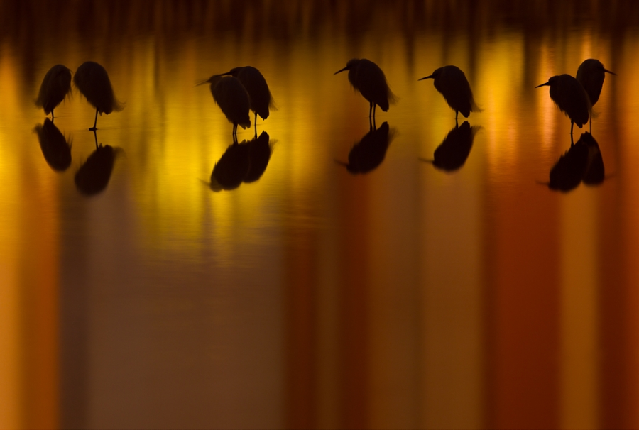 Silkehegrer. Gull. © Anders Selland.