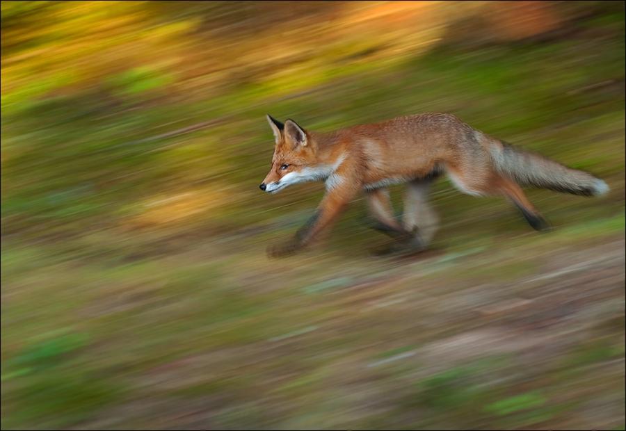 Rødrev i kveldslys. Gull. © Terje Sylte