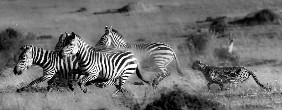 Gepard og sebra. Gull. © Erik Toverud