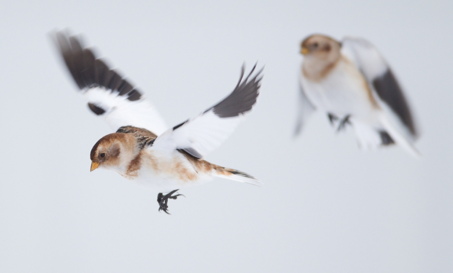 Snøspurver i flukt. Gull. © Anders Selland