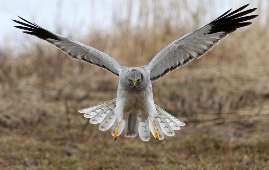 Inn for landing - Myrhauk. Gull.  © Dag Norman Sværi