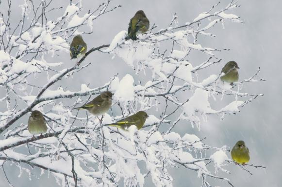 Hugdal2_grønnfink