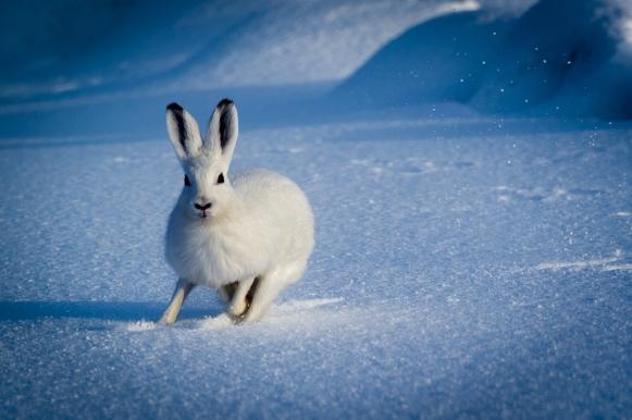 Johansen2_Hare