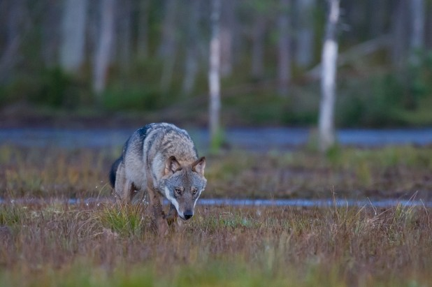 Nes3_En snikende ulv (1 of 1)