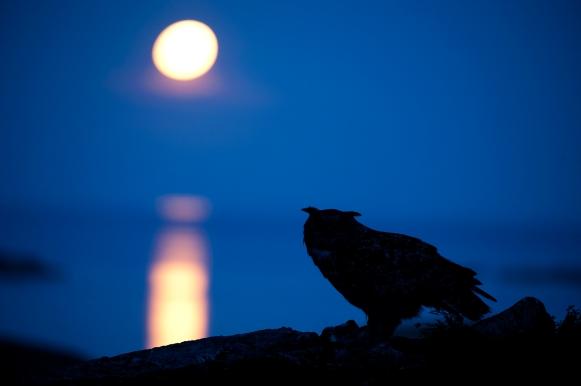 Hubro og fullmåne. 43 poeng og sølv. © Stig Frode Olsen.