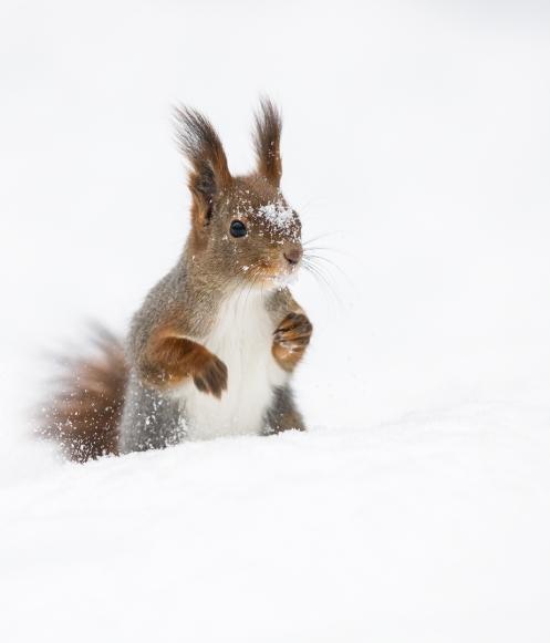 Olsen2_Moro med snø (Ekorn)