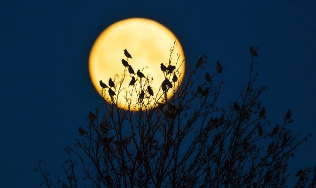 Sidensvans mot fullmåne. Gull. © Espen Bergersen