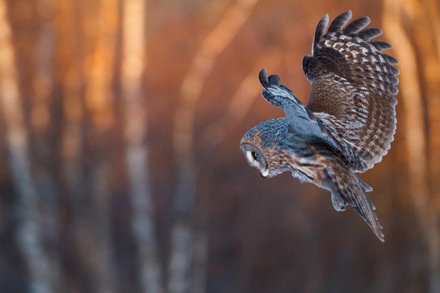 Lappugle. Gull. © Espen Bergersen