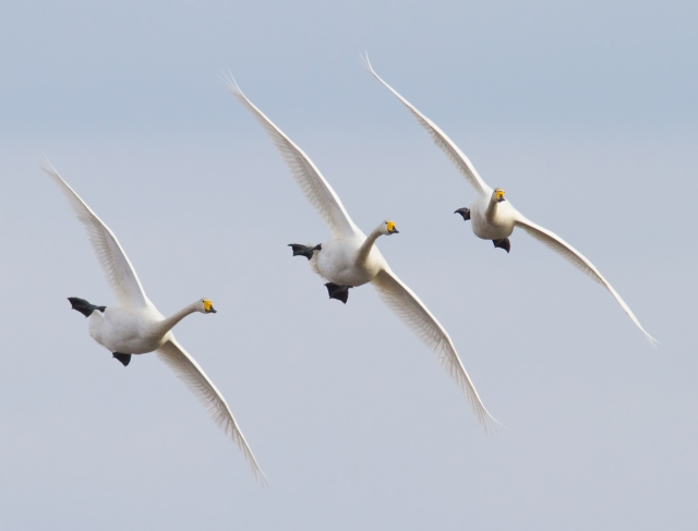 Sangsvaner. Gull. © Stein Ola Haugom