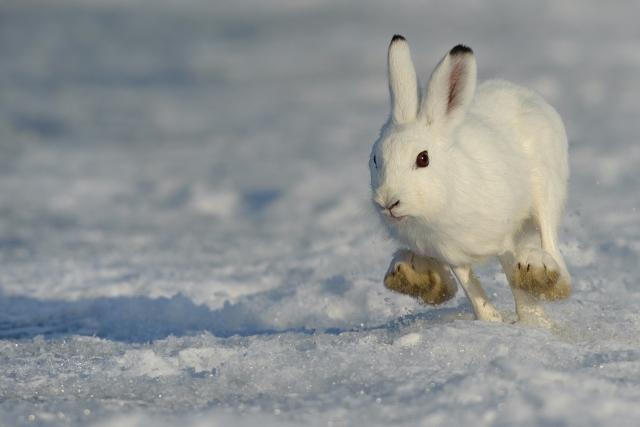 Hare. 43 poeng. © Ruben Johnsen