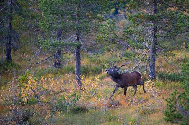 Brølande hjort. Gull. ©  Arne K. Mala