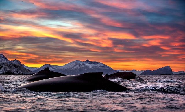 Havets giganter - knølhval. Gull. © Audun Rikardsen