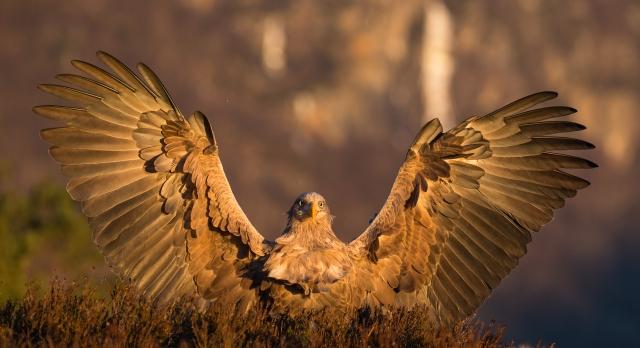 Havørn lander. Gull. © Rolf Selvik