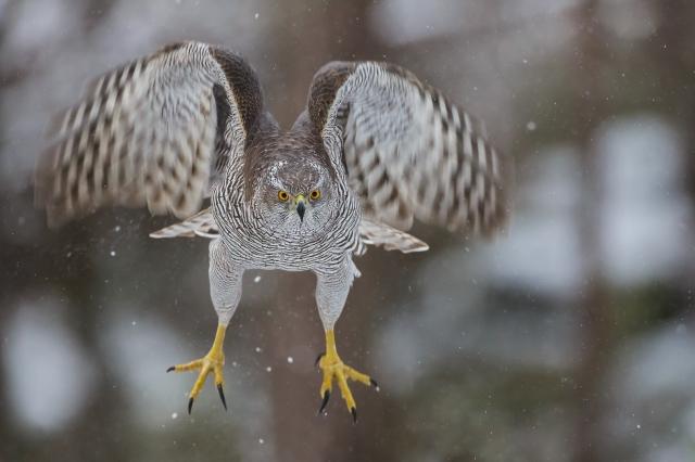 GoshawkTakeoff. Gull. © Andy Trowbridge