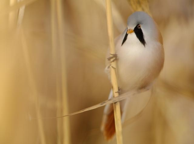Skjeggmeisen - et levende kunstverk. Gull. © Tilman Wischuf