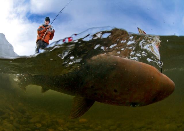 Fast fisk. Gull. © Audun Rikardsen