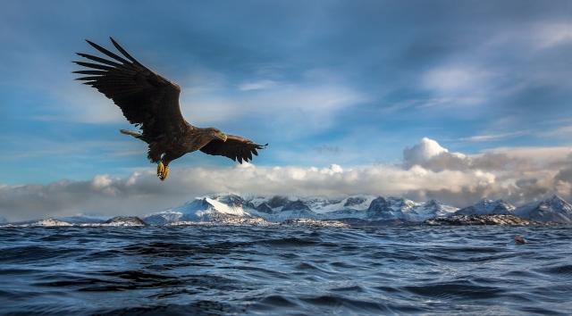 Ørn ved overflate. Gull. © Audun Rikardsen