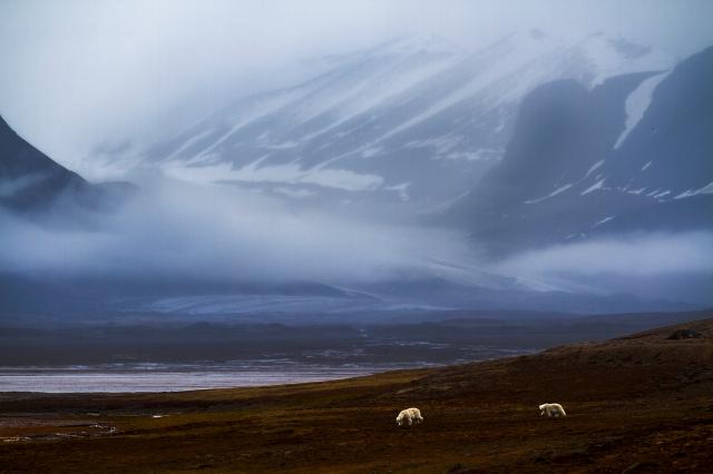 Landfaste isbjørner. 40 poeng. © Audun Rikardsen