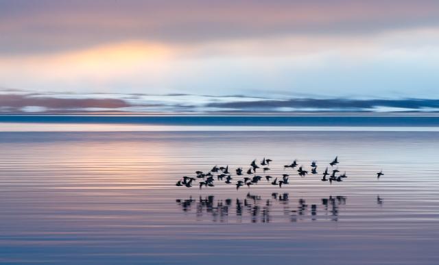 Fjæreplytt. Gull. © Espen Bergersen