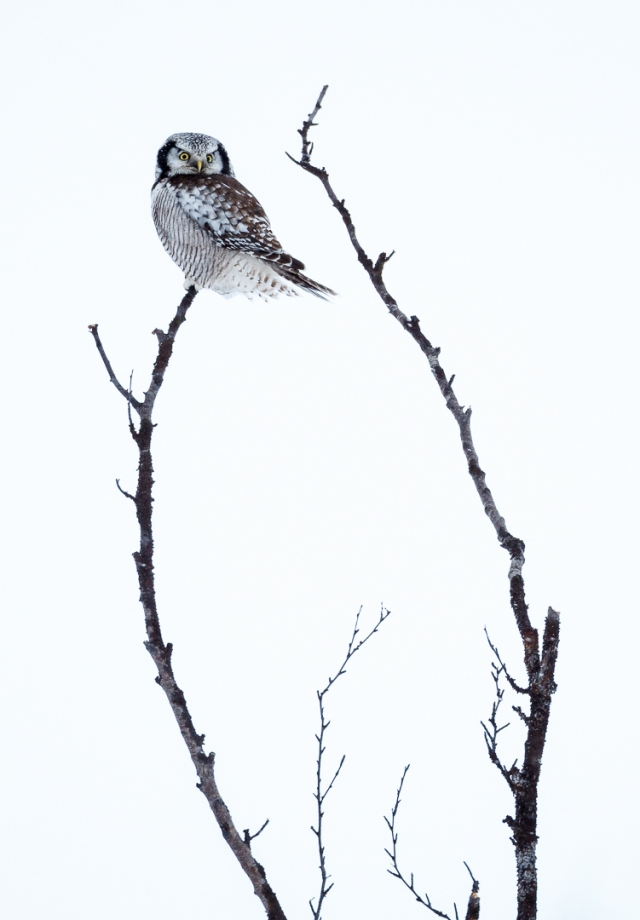 Haukugle i balanse. Gull. © Espen Bergersen