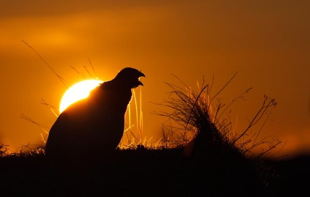 Lirypesang i solnedgang. Gull. © Espen Bergersen