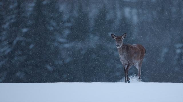 Hjortekolle i vintervær. Gull. © Bjørn Aksel Bjerke