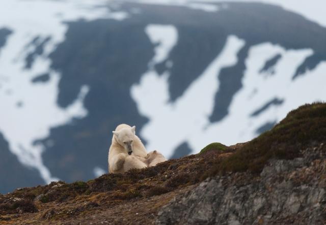 Isbjørn dier unge. 42 poeng. © Trond Braadland