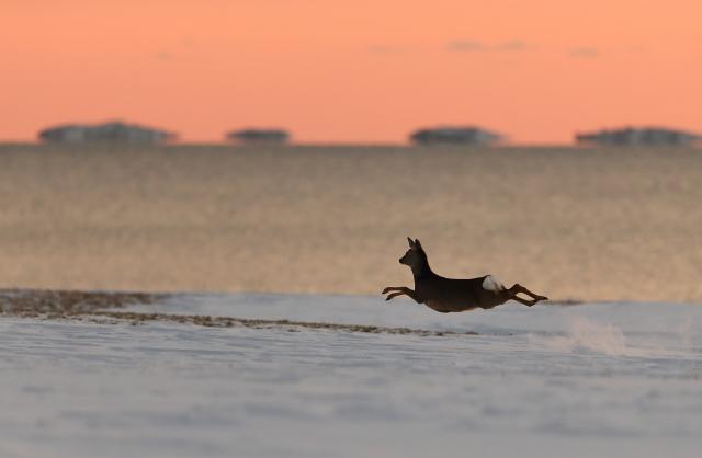 Tre striper ble rådyr. Gull. © Torleif Hansen