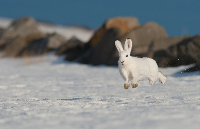 Hare. Gull. © Ruben Johnsen