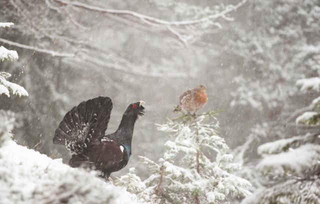 Tiur på damejakt i snøvær. Gull. © Svein Ove Linde