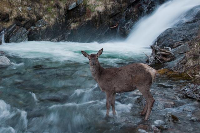 Hjort i elv. Gull. © Vegard Lødøen