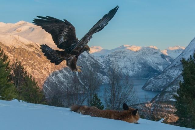 Kongeørn. 40 poeng. © Vegard Lødøen