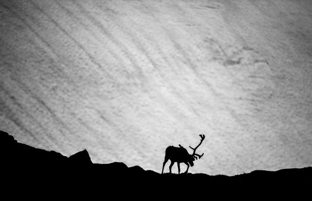 Reinsbukk. 42 poeng. © Arne K. Mala