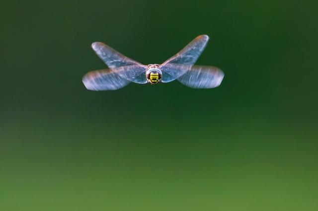 Augnastikker i flukt. Gull. © Arne K. Mala