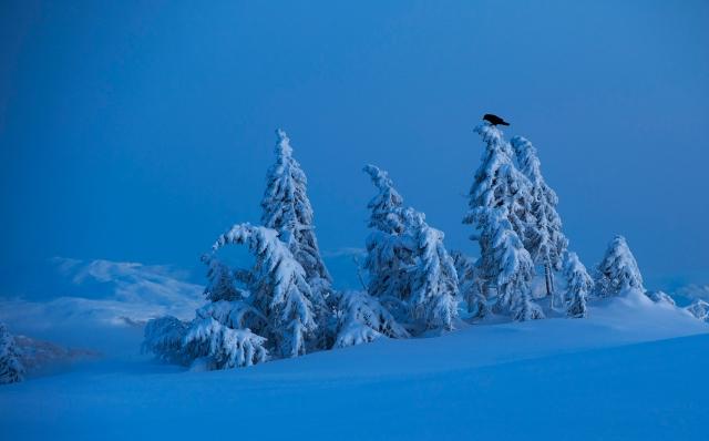Ravn i vinterlandskap. Gull. © Arne K. Mala
