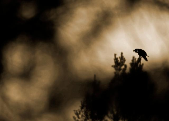 Ravn. Gull. © Ane Therese Ravnåsen