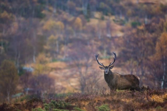 Brunstbukk i høstlandskap. 43 poeng. © Rolf Selvik