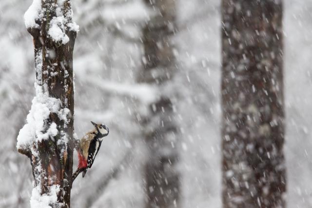 Flaggspett i snøvær. Gull. © Rolf Selvik
