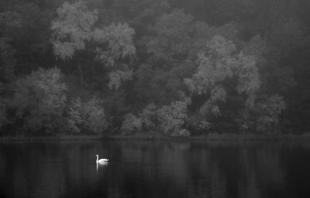Knoppsvane. Gull. © Nils J. Tollefsen