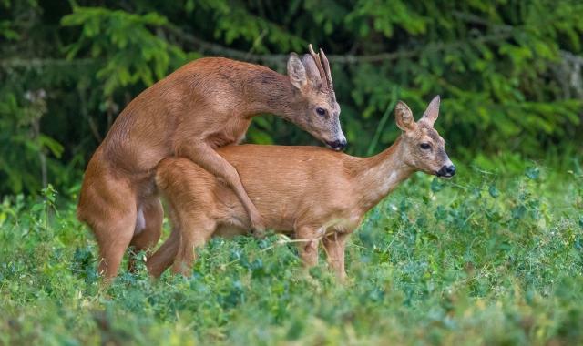 Parrende rådyr - Mating Roe Deer. 43 poeng. © Andy Trowbridge