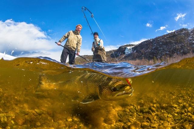 Fiskeglede. Gull. © Audun Rikardsen