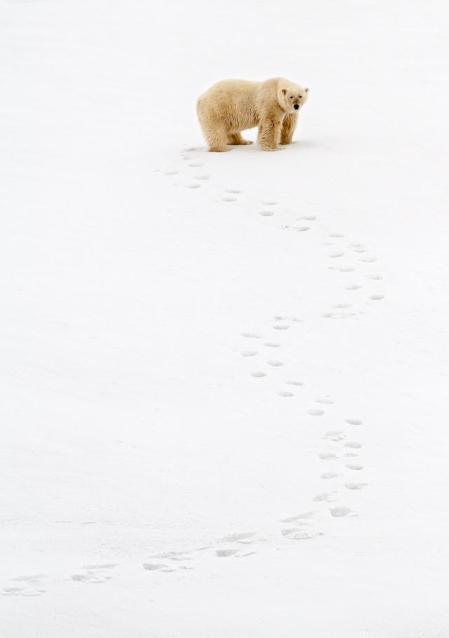 Isbjørn på ubestemt kurs. 43 poeng. © Espen Bergersen