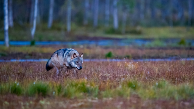 Så kom ulven. 44 poeng. © Magnus Jonas Fjell