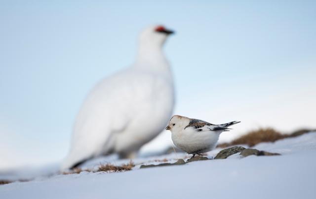 SnøspurvLinselus. 39 poeng. © Jan Sivert Hauglid