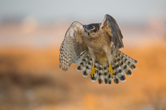 Hønsehauk. Gull. © Arnt Ove Jøsang