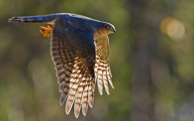 Spurvehauk. Gull. © Kai Jensen