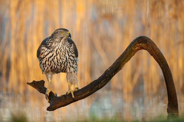Ung Hønsehauk. Gull. © Arnt Ove Jøsang