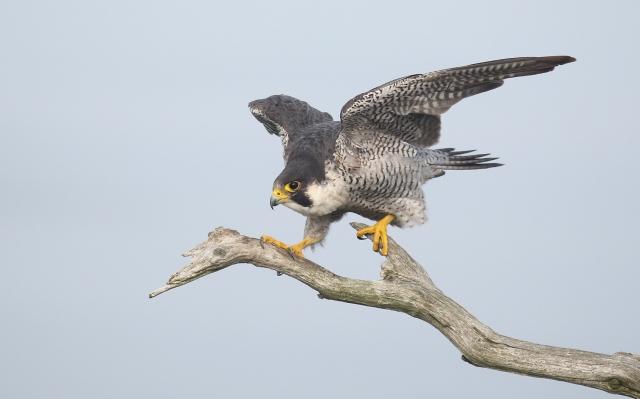 Vandrefalk. Gull. © Rune S. Karlsen