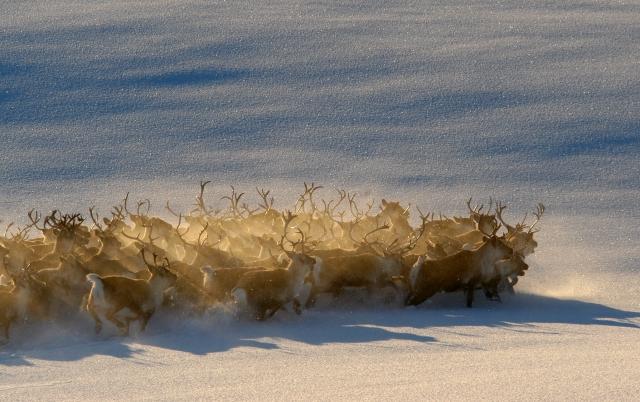Reinsdyr. 42 poeng. © Sveinung Klyve